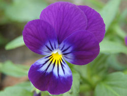 Polymer Clay Cane Inspiration from A Beautiful Pansy Flower