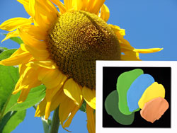 Summer Sunflower Polymer Clay Colors