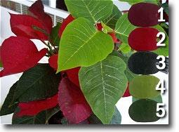 Poinsettia Palette, Kato Polyclay Color Recipes by Sue Fisher