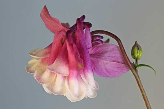 Columbine Hybrid Flower Polymer Clay Tutor